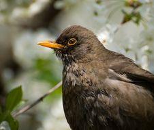Free Blackbird Royalty Free Stock Photo - 2343625