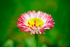 Free Daisy Flower Stock Photos - 2343733