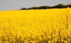 Free Rape Field Stock Image - 2343801
