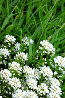 Free Small White Flowers Grass Royalty Free Stock Image - 2344366