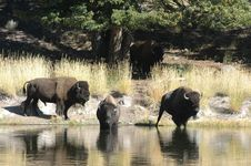 Free Buffalo At The Stream Royalty Free Stock Photography - 2344387