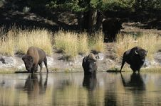 Free Buffalo At The Stream Royalty Free Stock Photo - 2344395