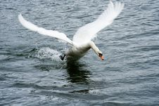 Free Swan Taking Off Royalty Free Stock Photography - 2344427