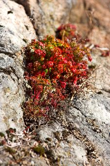 Free Rock Plants (Norway) Stock Image - 2344441
