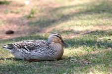 Free Resting Duck Royalty Free Stock Image - 2344466