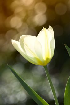 Free Sunset Tulip Stock Photography - 2344492