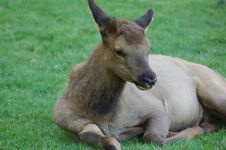 Young Elk On The Grass Stock Images