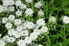 Free Small White Flowers Royalty Free Stock Photography - 2344717