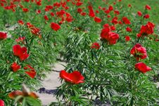 Free Red Flower Field Stock Photo - 2344880