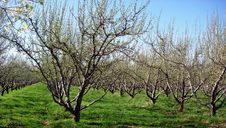 Free Orchard Royalty Free Stock Images - 2345189