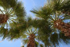Free Palm Tree Canopy Royalty Free Stock Image - 2345326