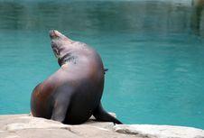 Free Californian Sea Lion 1 Royalty Free Stock Photo - 2345705