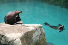 Free Californian Sea Lion 2 Royalty Free Stock Photos - 2345708