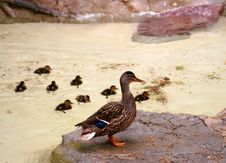Free Mallard With Its Ducklings Stock Photos - 2345713