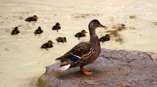 Mallard With Its Ducklings 2 Stock Images