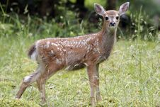Free Fawn Royalty Free Stock Photos - 2346308