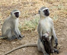 Free Vervet Monkeys Royalty Free Stock Photo - 2346445