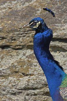 Free Peacock Stock Image - 2346581