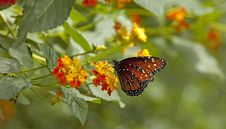 Free Brown And Black Butterfly Stock Photography - 2346592