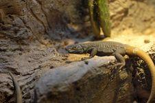 Free Desert Lizard Stock Images - 2346604