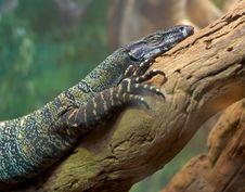 Free Lizard On Branch Royalty Free Stock Photo - 2346605