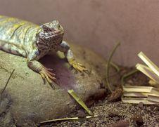 Free Lizard On Rock Royalty Free Stock Photos - 2346608