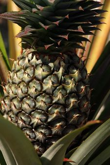 Free Pine Apple Royalty Free Stock Images - 2346609