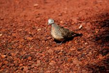 Free Pigeon Royalty Free Stock Photography - 2346697