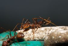 Free Red Ants Royalty Free Stock Photography - 2346707