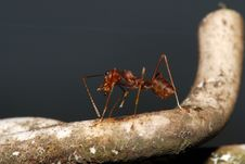 Free Red Ants Royalty Free Stock Photos - 2346708