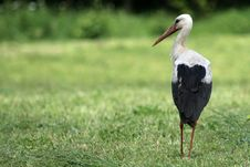 Free White Stork On Meadow Stock Photos - 2347163