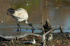 Free Ibis Feeding In Billabong Stock Image - 2347701