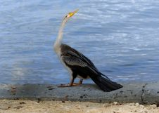 Free Australian Darter Royalty Free Stock Images - 2347809