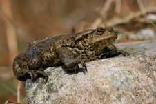 Free Big Toad Stock Photography - 2348022