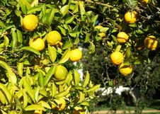 Free A Green Tree Full Of Lemons Royalty Free Stock Photos - 2348728