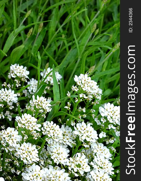 Small white flowers grass free stock images photos 2344366 small white flowers grass mightylinksfo