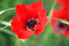 Free Red Poppies On A Green Background With Fresh Herbs Stock Image - 23400901