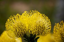 Free Bright Yellow Pincushion Proteas Royalty Free Stock Photo - 23401025