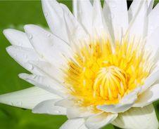 Free Closeup On White Lotus Royalty Free Stock Photos - 23408748