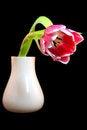 Free Tulip In A Vase Stock Image - 23418391