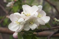 Free Flowering Apple-tree Stock Images - 23410034
