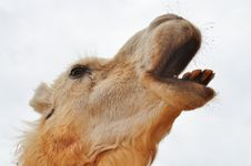 Free Braying Camel Royalty Free Stock Photos - 23411388
