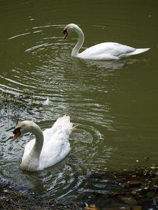 Free Nestling Swans Stock Images - 23412054
