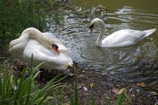 Free Nestling Swans Royalty Free Stock Photo - 23412175
