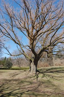 Old Bare Tree Royalty Free Stock Images