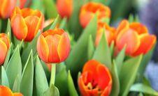 Free Beautiful Spring Tulip Flowers Stock Image - 23417171