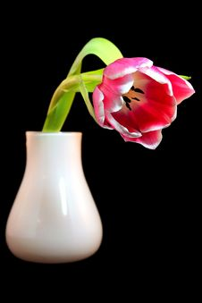 Free Tulip In A Vase Stock Image - 23418391