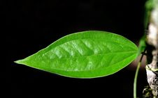 Free Green Leafs Royalty Free Stock Image - 23427026