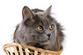 Free Gray Cat In A Basket Stock Photo - 23432480
