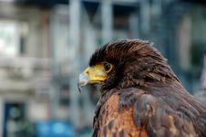Free Hawk Stock Photo - 23431050